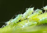 花草有蚜蟲怎麼治?不用農藥治蚜蟲的方法