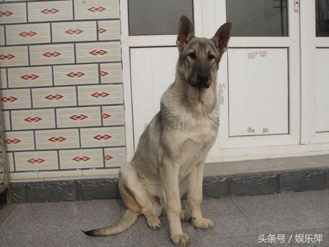 這就是我國常見的一種優秀犬種,狼青犬