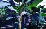 情報站 濟南芭蕉樹開花結果了,很像香蕉