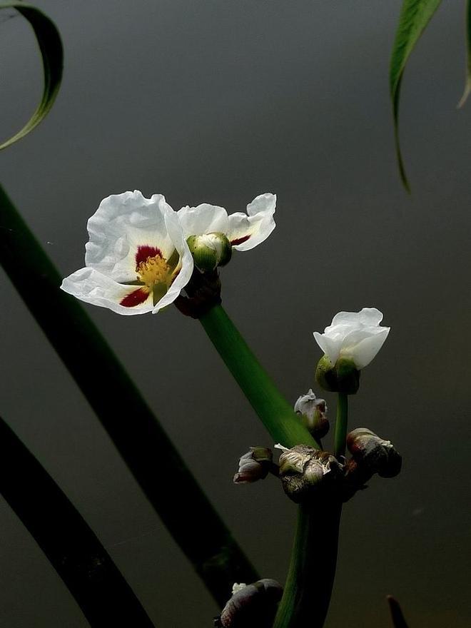 花語是幸福的花——慈姑花