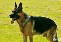德國牧羊犬可以打得過野狼嗎?為什麼?