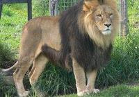 獅子種類大百科
