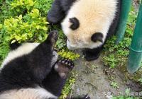 這裡雖然只是四川的一個鎮,卻有全世界最大的大熊貓基地