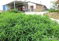 農村有一種野草,3個月就能長到一人高,農民喜歡在地頭留幾棵