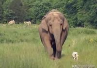 大象和狗狗有著10年友誼,當狗狗不幸去世後,大象的行為讓人淚目