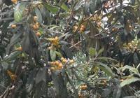 農村種植枇杷樹,結的枇杷很酸。有什麼好方法讓它變甜?為什麼?