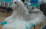 大家會不會喜歡高貴而孤傲,長髮飄飄的阿富汗獵犬呢?