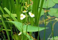 每週一草:稻田裡的野慈姑達1米高,而且越來越多怎麼辦?
