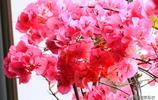 三角梅里的春天:用啥詞彙形容都是多餘的,美不美自己看吧