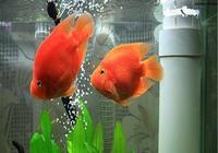 想養好熱帶鸚鵡魚,掌握這三點,越養越漂亮