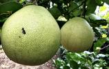 您吃過柚子,您見過柚子林嗎?