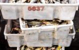 吃海鮮來青島 蠣蝦18元一斤 夫妻誠信經營買賣好 一早出貨數萬元