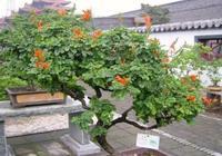 盆栽凌霄花為什麼不開花?教你凌霄花如何當年開花。