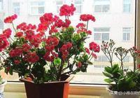 這5種花太好養了,1節枝埋土裡,10天生根,5個月長爆盆,太美了