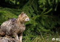 如果貓生下來就離開貓群,長大後還能聽懂貓語嗎?