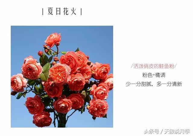 不都是開粉花的月季嗎?一樣的顏色你買那麼多品種幹啥?
