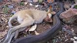 澳洲巨蟒吞吃了一隻小袋鼠,估計兩三個月都不用再吃東西了