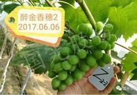 醉金香葡萄如何種植?醉金香葡萄無核化栽培技術?