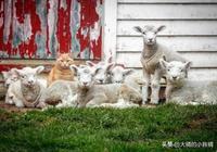 """喵星人常年跟羊群待在一起,不僅沒被排斥,還成為了""""羊老大"""""""