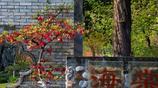 南京莫愁湖公園海棠花迎來最佳賞花期