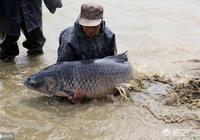 農村的養殖戶說青魚最愛吃螺螄了,螺螄殼很堅硬青魚是怎麼吃的呢?