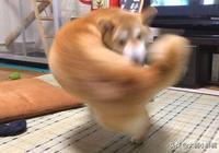 柴犬一個轉身動作,成為了網絡爆紅的動漫英雄,人們叫它右鉤犬