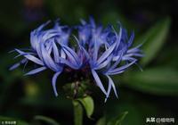 藍色的矢車菊,幸福的你!
