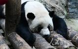 京城再降雪 大熊貓室內避寒姿態萌人