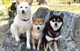 三隻柴犬生活的日常,收穫三倍可愛!