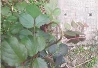 春天月季嫩枝花苞垂頭?再不重視,小心沒花可開!