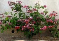 開花好看且爬藤能力極強的幾種觀賞花卉,容易開花,還能養陽臺上
