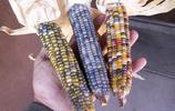農民玉米大豐收,顆顆像寶石翠玉,但卻一點也高興不起來