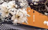 南京靈谷寺玉蘭朵朵銀葩競相開放