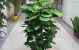 既能點綴家居環境,又能淨化空氣的綠植,清新養眼
