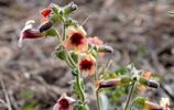 中草藥地黃的花朵