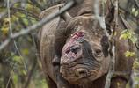 動物圖集:中國犀牛
