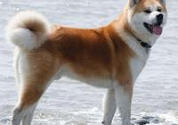 美國人把秋田犬培育成美系秋田犬之後,日本人不樂意了