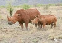 公犀牛不顧同類之情,竟在母犀牛前攻擊小犀牛