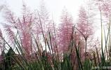 秋季河岸最美的一道風景《斑茅》,它的稈可編席造紙,你知道嗎