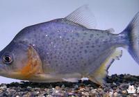 亞馬遜河裡的食人魚的天敵是什麼?