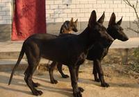 農村人最喜歡養的5種狗,忠誠護主能看家,第五種最受歡迎!