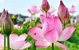 十大名花:世上總有一種花能打動你,荷花出淤泥而不染,太美了