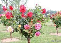 一棵月季開8種顏色,學會這個嫁接方法,1年就能擁有多色樹杆月季
