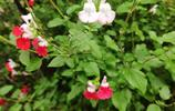 路邊的神奇花朵 一株植物上有三種顏色的花 知道這是什麼花嗎