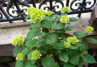 去年開花的繡球花今年只長葉不開花怎麼回事?去年謝花修剪不當
