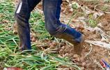 農村現搶手職業,女子扛起被褥跪地幹活,一畝能賺1千元