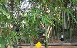 竹子千萬種,這種竹子叫啥呢?