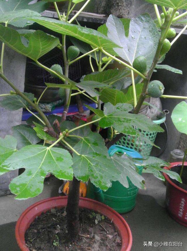 陽臺怎麼種水果?4個小技巧,一棵長得比一棵茂盛,果子結更多