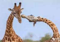 長頸鹿頸長的有這優勢,依偎晒恩愛也特別些