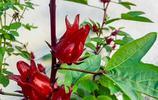 介紹一種紅色的花,它叫玫瑰茄,對心血管、高血壓等有療效